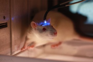 Optogenetic Rat Blue Laser MJFR 4687 Small